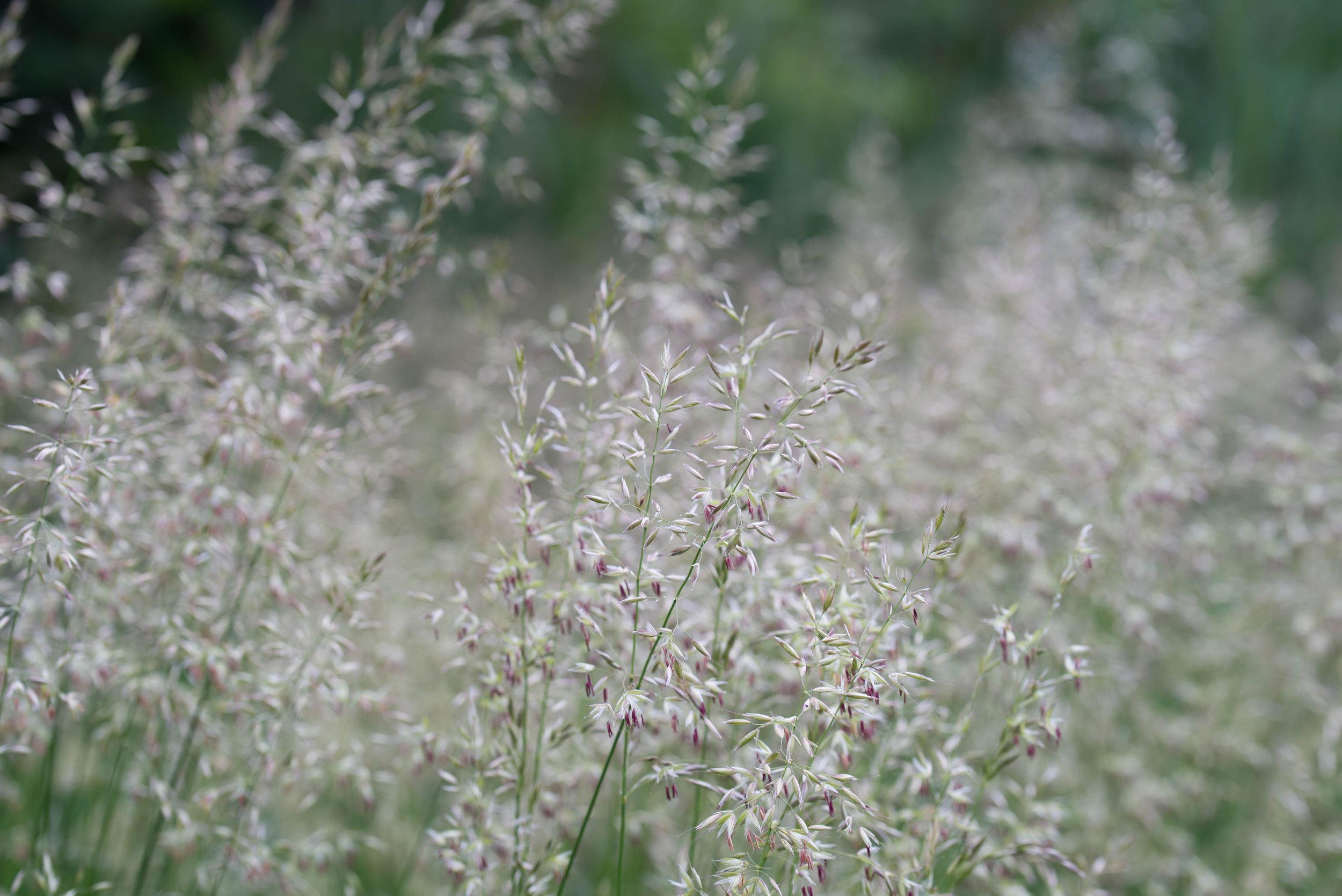 Agrostis capillaris (Colonial bentgrass) 2.jpg