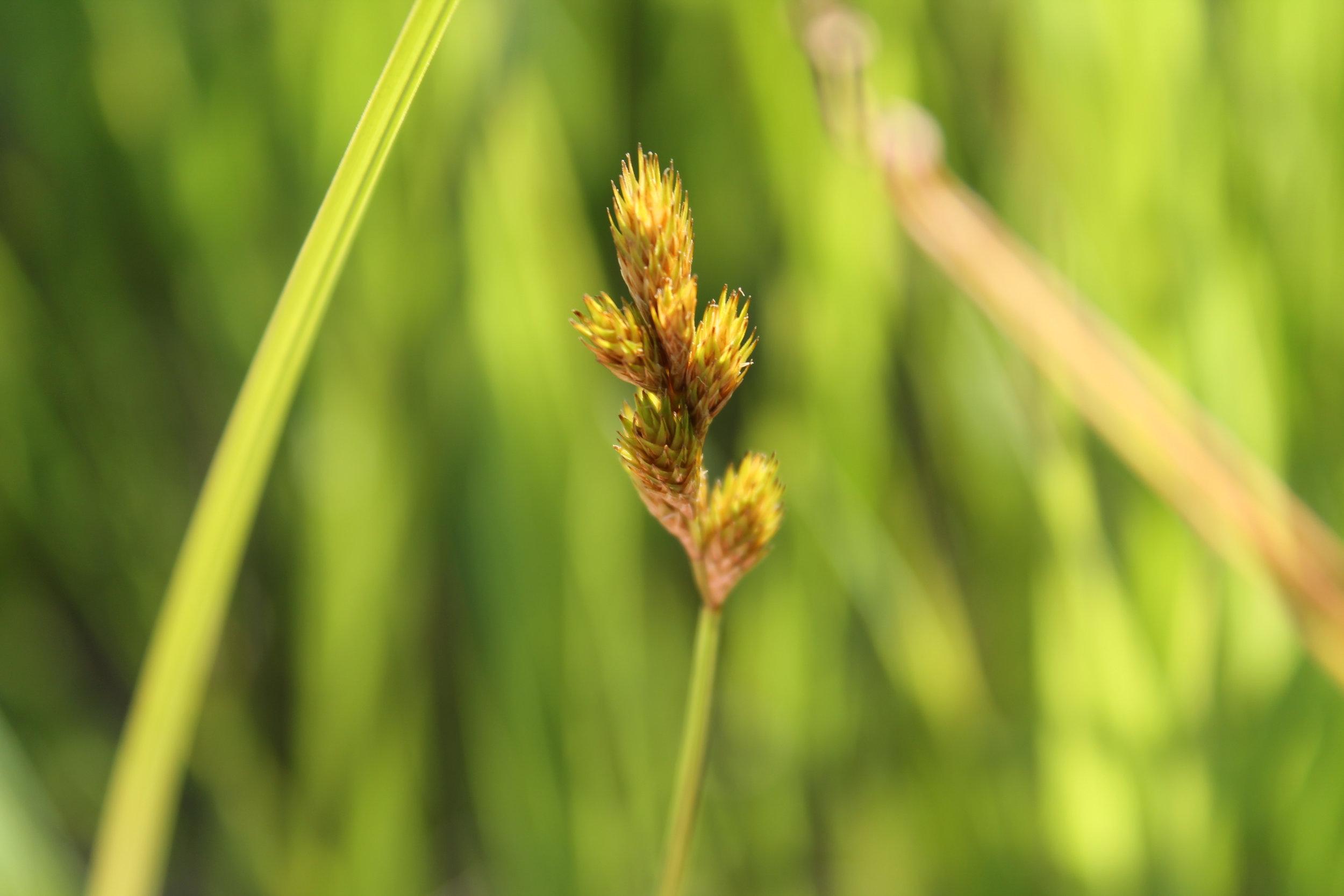 Carex bebbii (Bebb's Sedge) 1.jpg