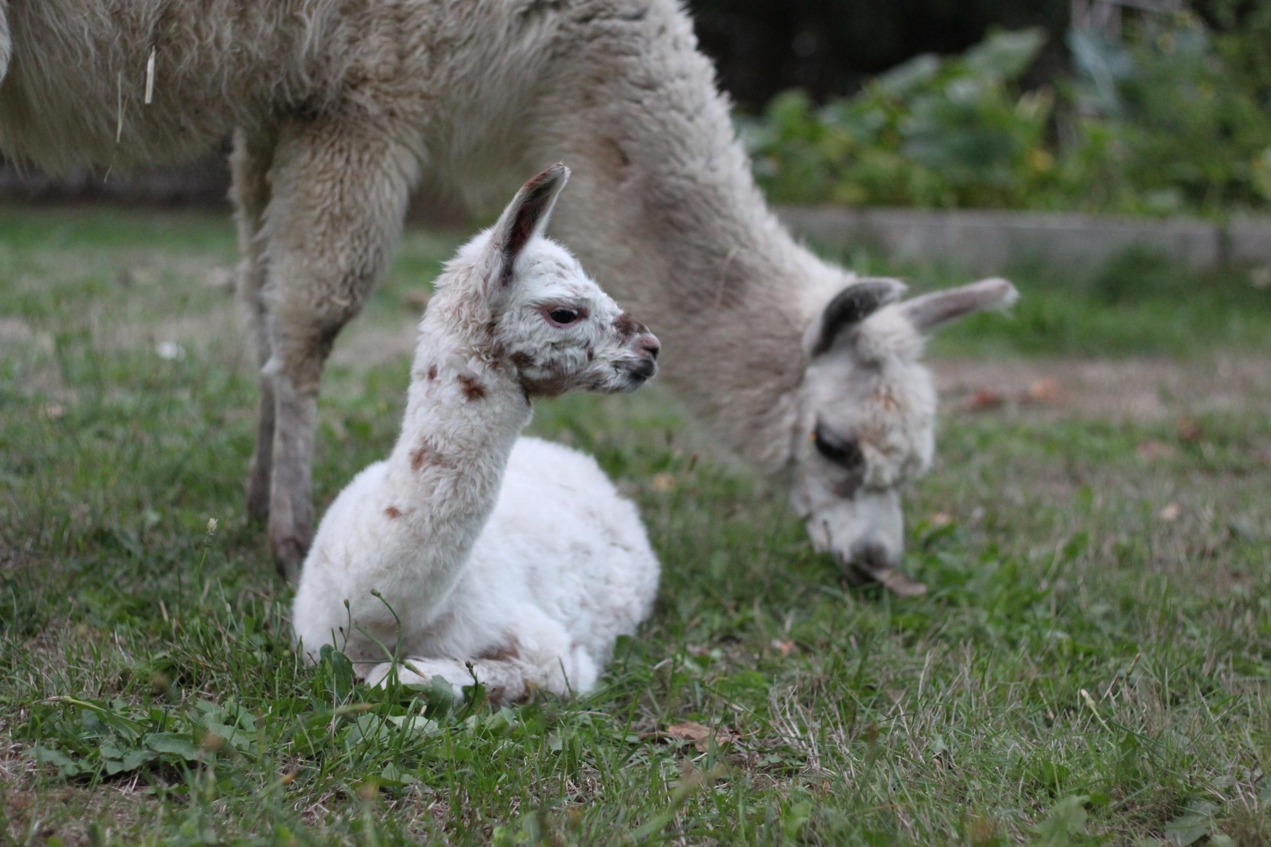 We welcomed baby Dolly Llama (1/4 llama, 3/4) alpaca to the farm in September