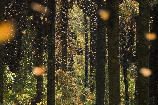 The annual migration of the monarch butterfly. is there anything more miraculous?