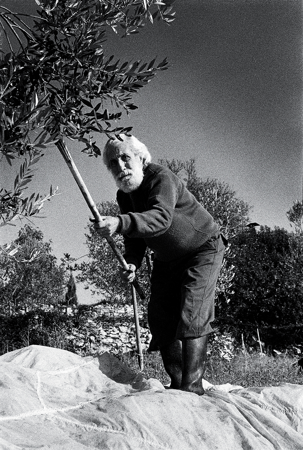 B&W olive picker2_v3.jpg