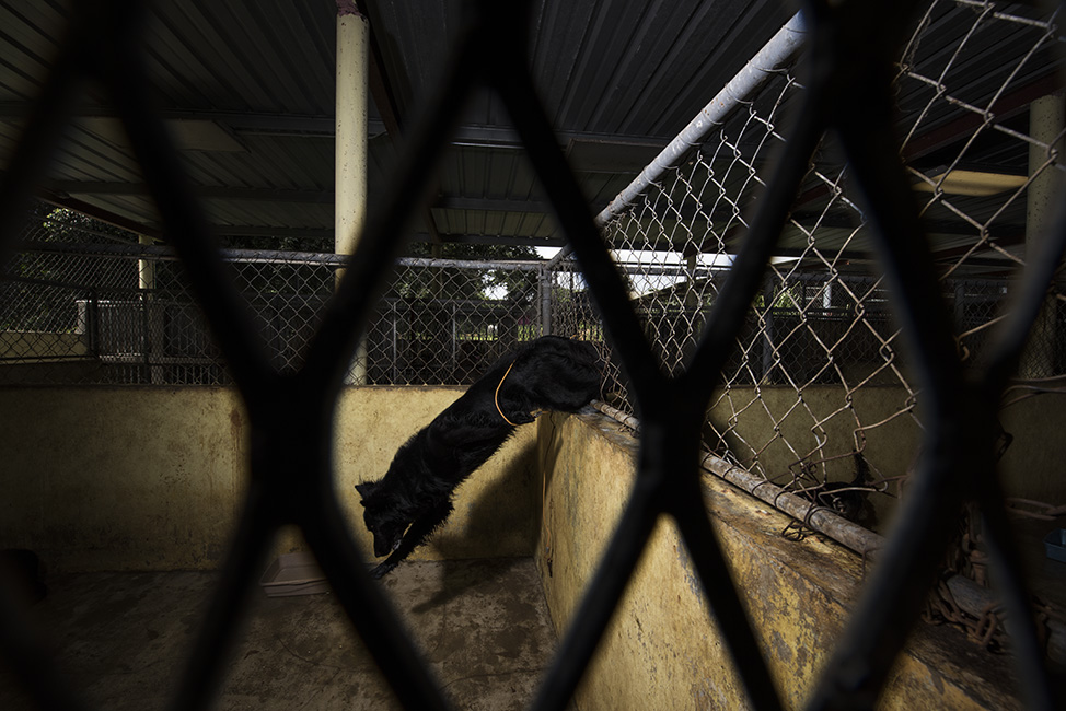 A dog jumps through a hole in the fence. his leg got stuck briefly in the wire.