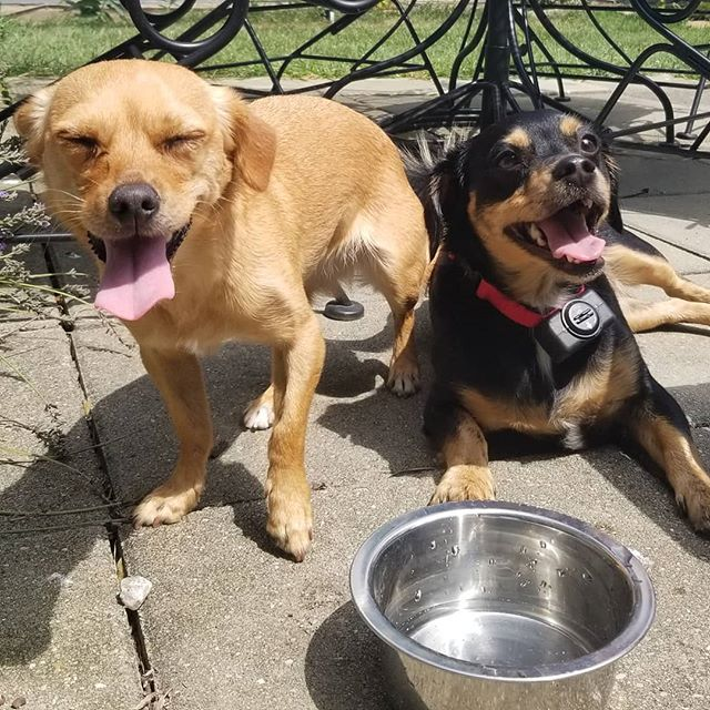 Lucky and Penny are a happy pair of pups!! They had fun soaking up the sun today, gotta love those smiles!  #happydogs #hotdogs #dogs #dogwalker #dogsofcolumbus #dogsofinstagram #instadog #smile