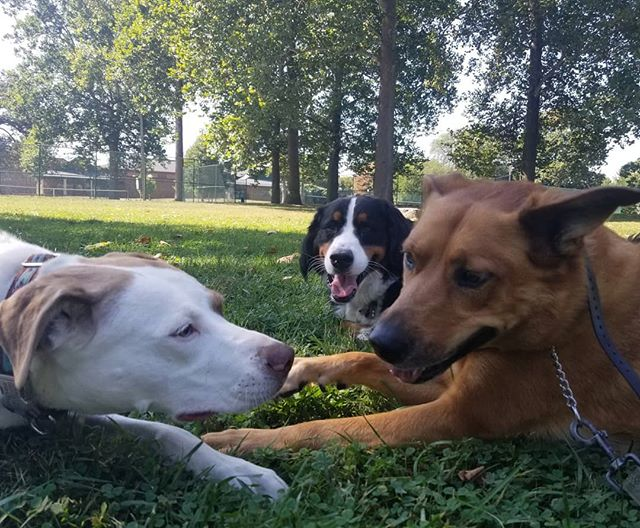 My dog Piper often gets to join me on walks, she has made so many great friends!  We both love my job, we are lucky we get to spend our time getting exercise and hanging with all these adorable pups!! #friends #dogfriends #dogs #dogsofcolumbus #dogstagram #instadog #dogsofinsta #columbus #dogwalker #614 #61fur #catahoula #catahoulaleoparddog #dogs_of_instagram
