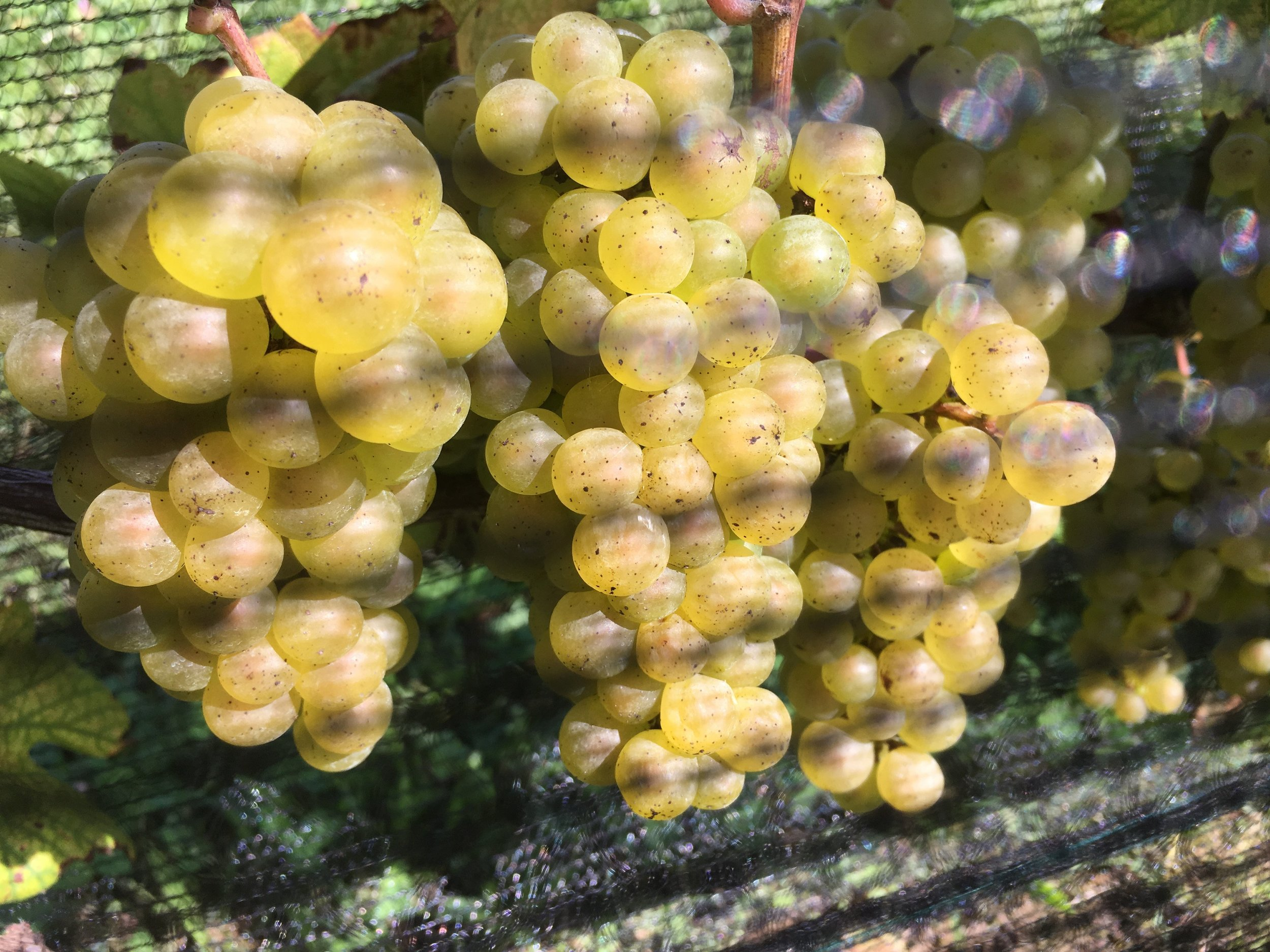 "Avonlea ""Old Vine"" Chardonnay"