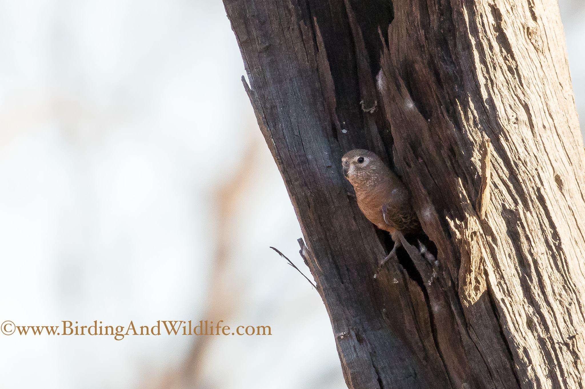 Bourke Parrot at the nest ©Mark Carter