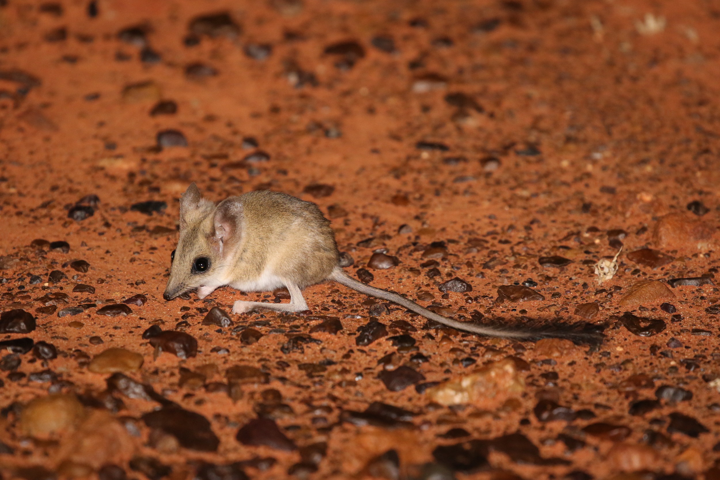 Where to find Wildlife in the Red Centre - A resource for the wildlife traveller about the journeys, sites and species of Central Australia