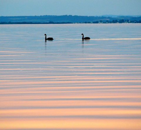Black Swans - Photo: Lisa Shonberg