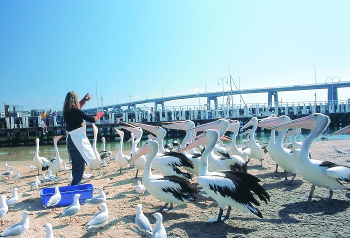 pelican-feeding-slide-700x476.jpg