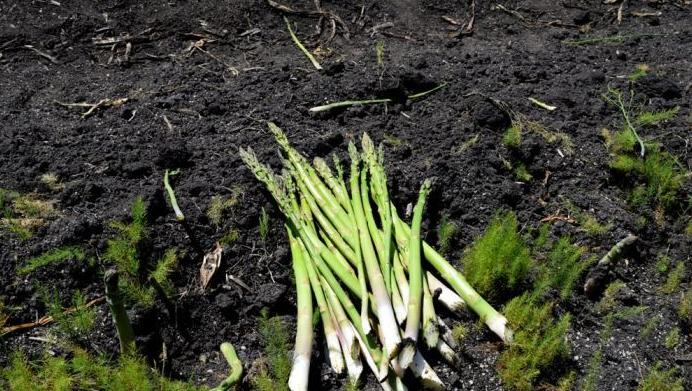 Fresh Cut Asparagus - KooWeeRup - Image ABC Rural