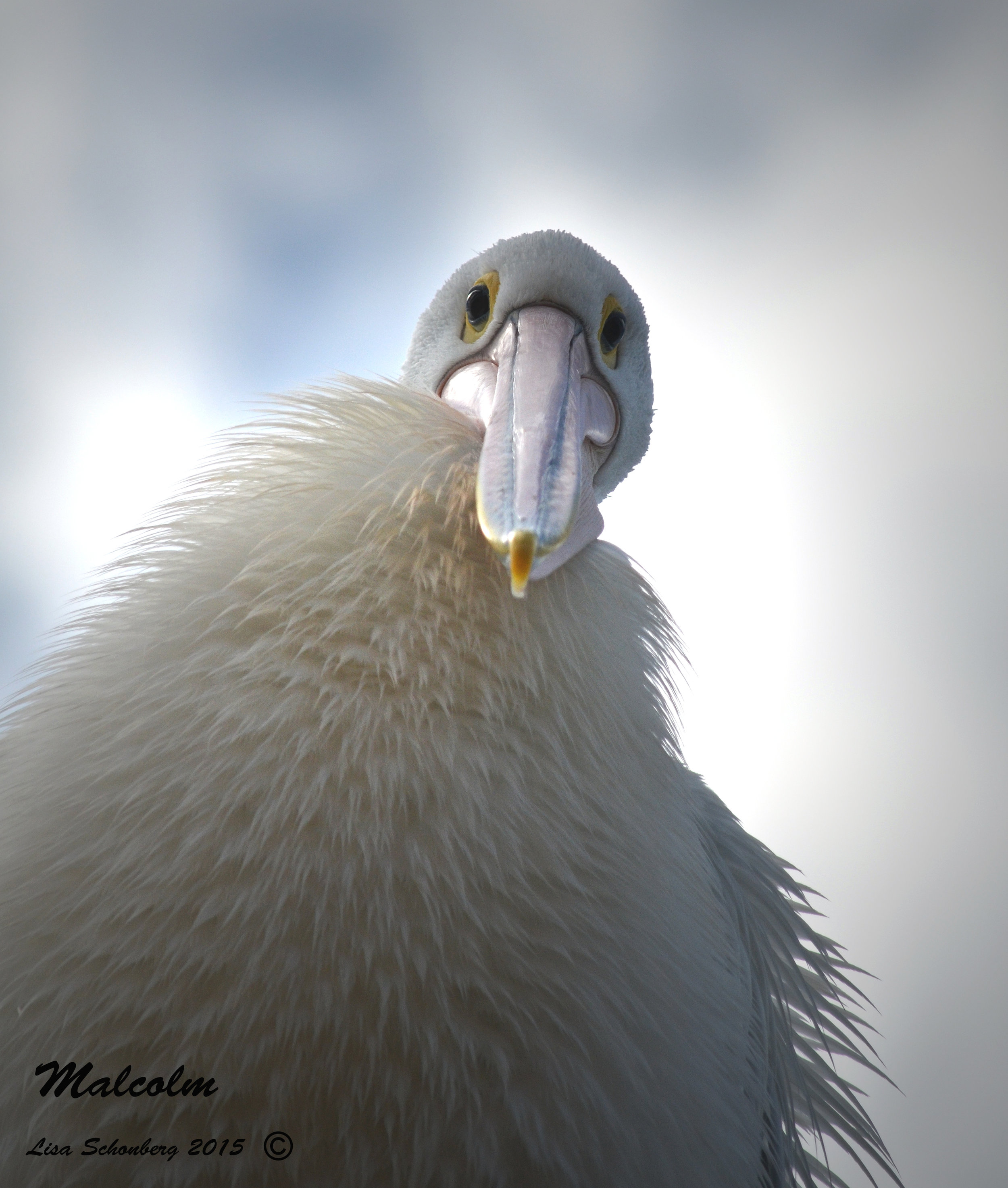Pelican - Photo - Lisa Shonberg