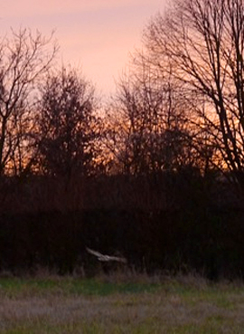 Every morning, I share my walk with thoughts of Averil and often with a beautiful owl that works the field.