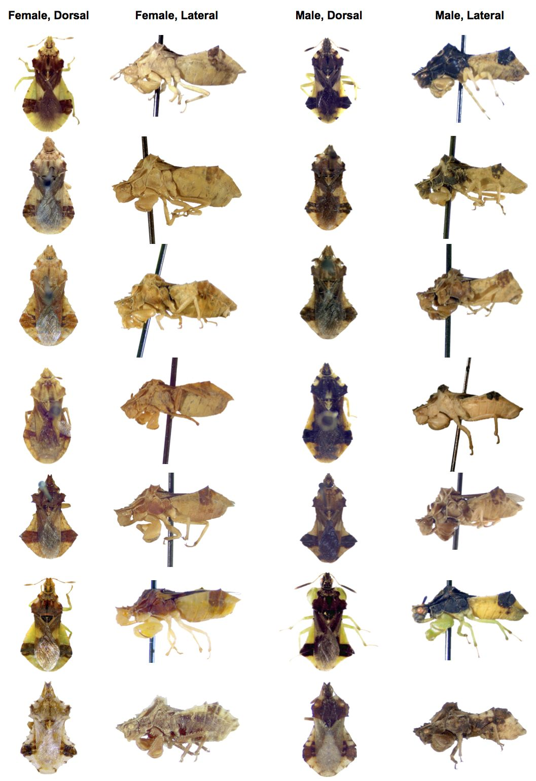 DIVERSITY.  There are over 100 species in the genus  Phymata . As you can see from this picture of 7 species and subspecies, size and colour differences between females (two left columns) and males (two right columns) are quite common. We don't yet fully understand the evolutionary causes of these sex- and species-differences.
