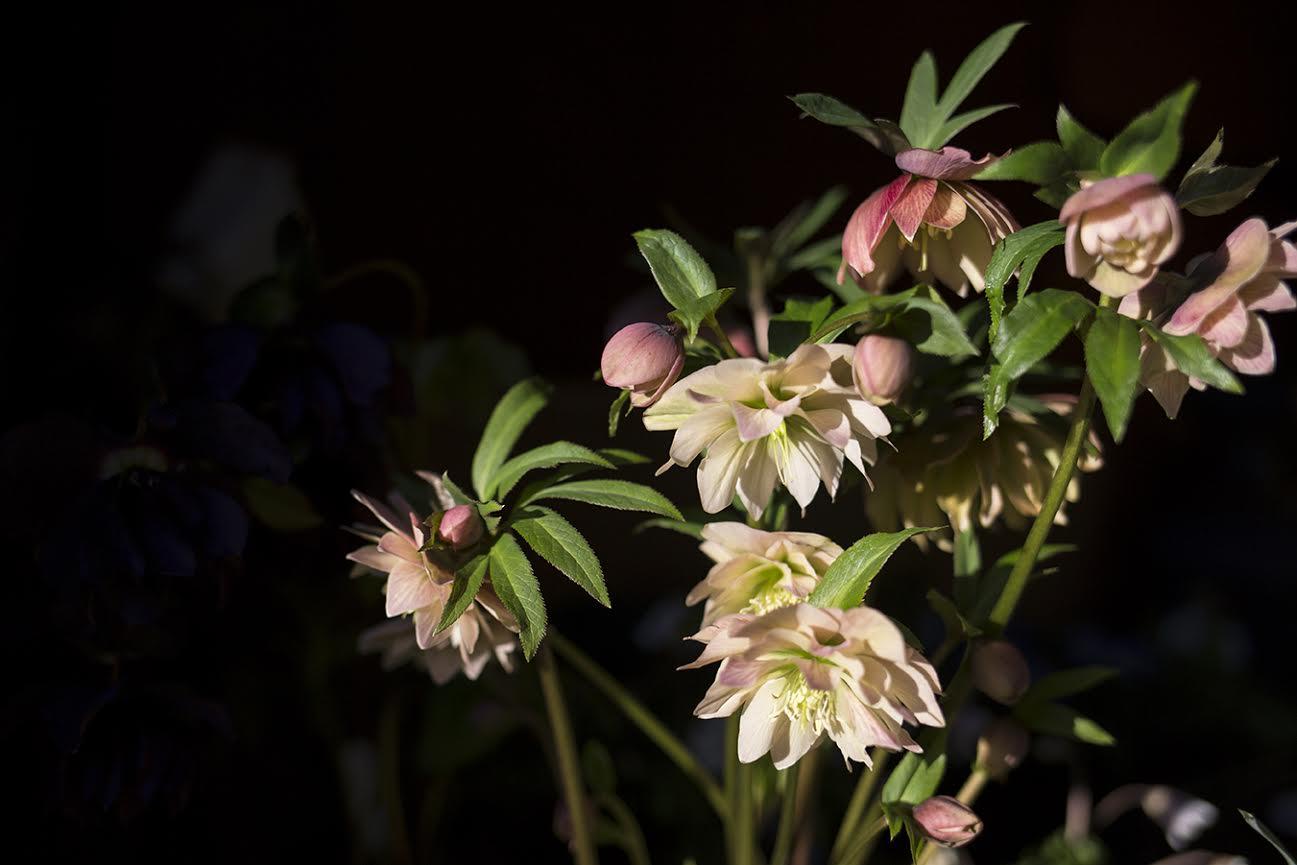 Aesme Flowers London | Spring Flowers Hellebores