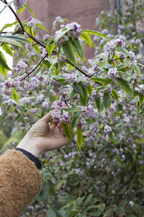 Aesme Flowers London | Spring Daphne