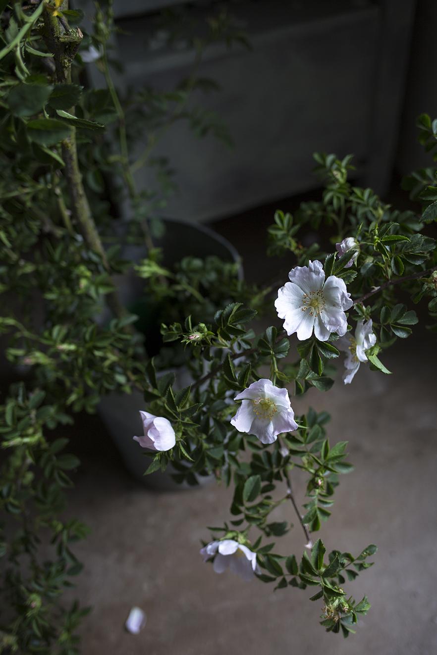 Aesme Flowers London | Dog-rose