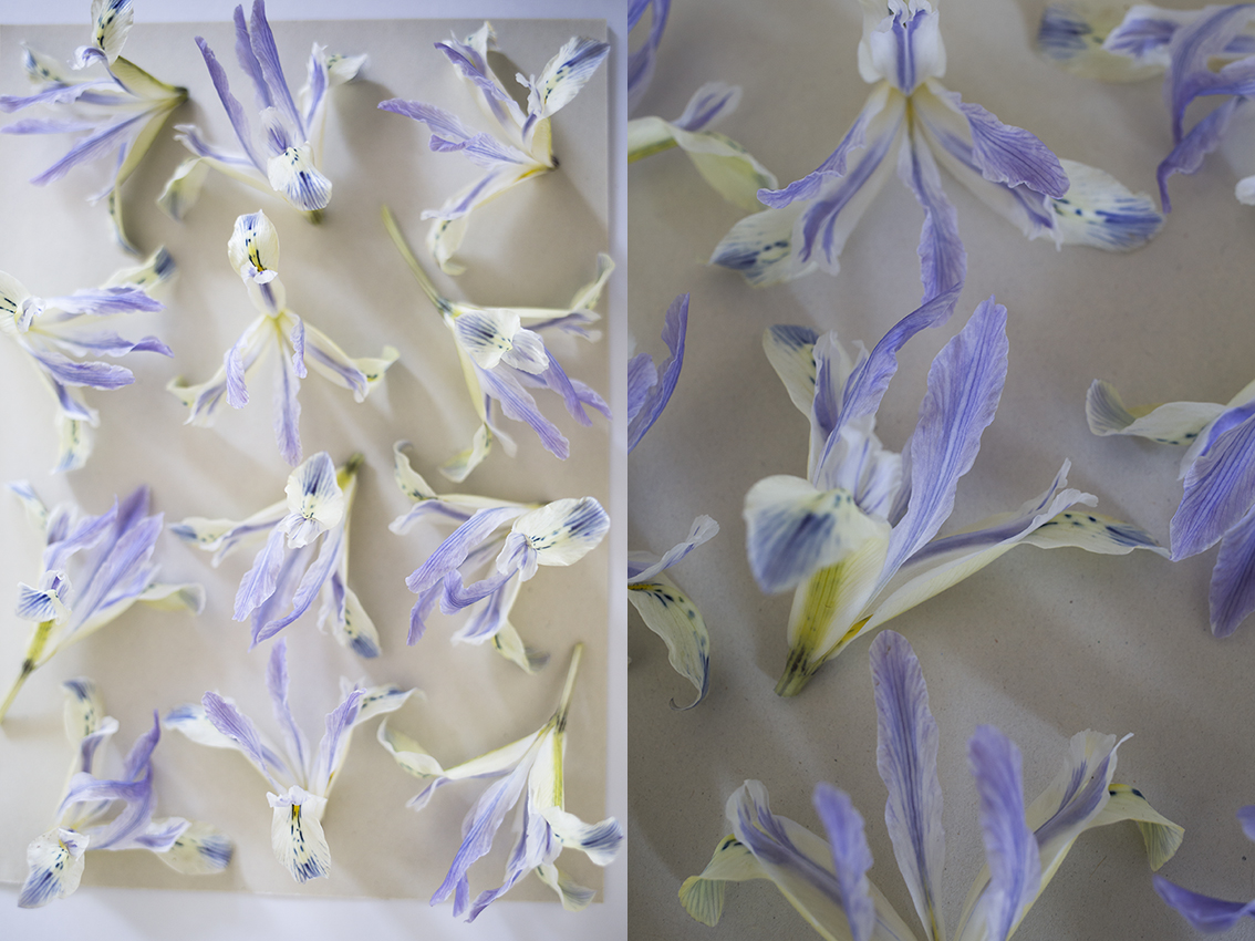 Iris reticulata flower pressing | Aesme Studio London