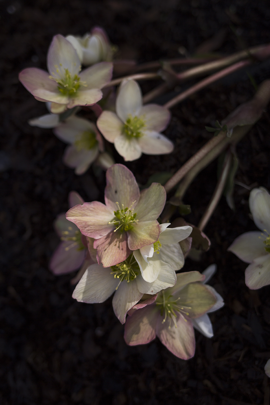 Hellebore flowers | Aesme Studio London
