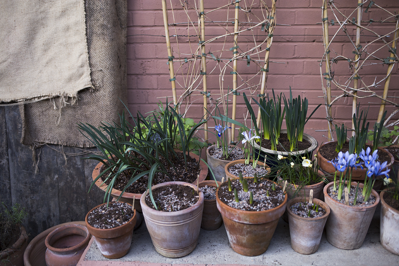 Tulip bulbs in pots | Aesme Studio London