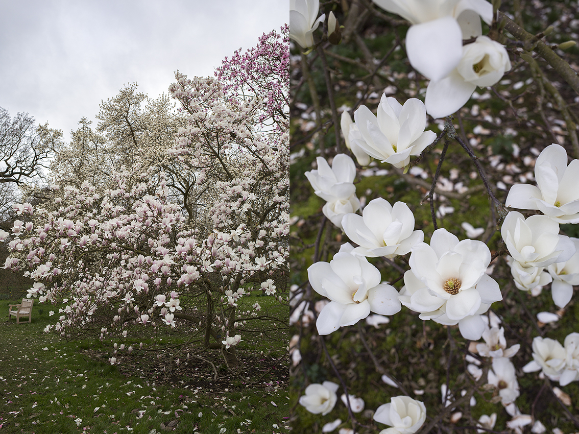 Magnolia in bloom at Kew Gardens. On the right: Magnolia heptapeta 'Yulan'.