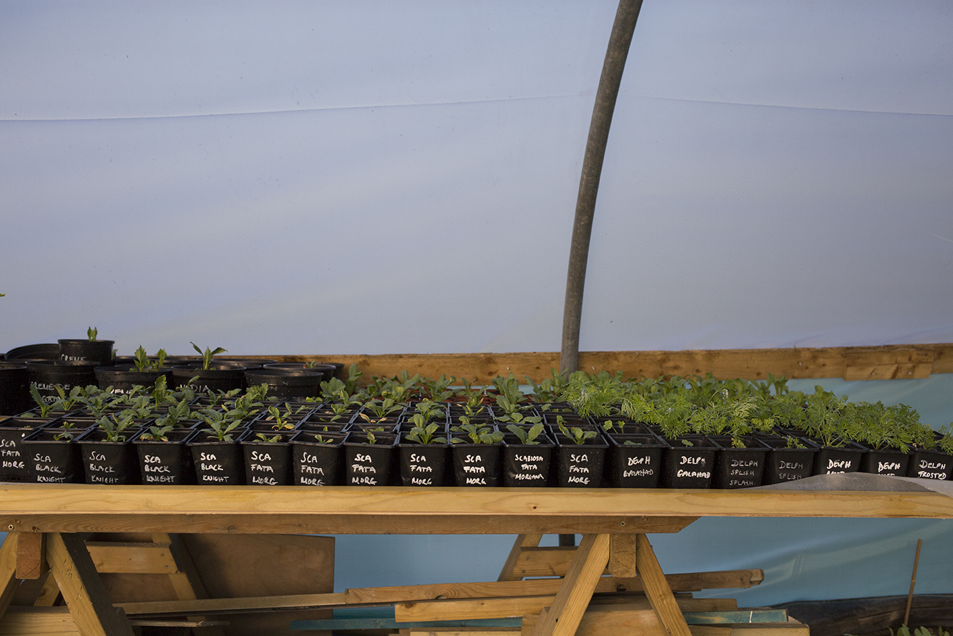 Cutting Garden | Scabiosa potted on and waiting to be planted in the outside beds