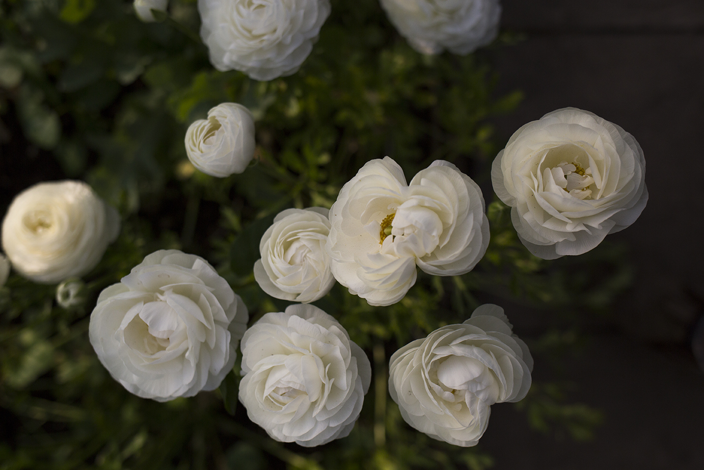 Cutting Garden   Ranunculus 'Aviv white'