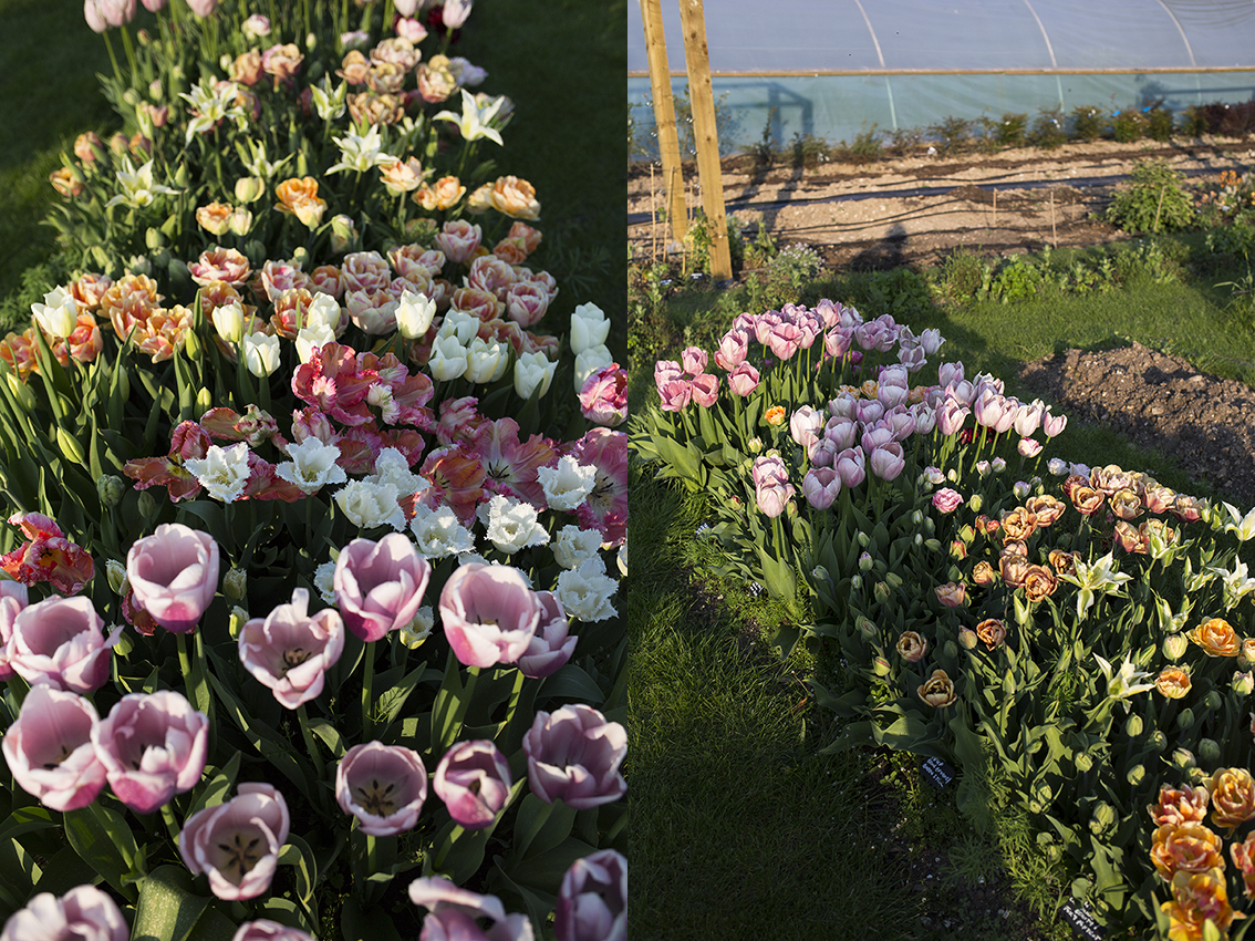 Cutting Garden | Tulips in the early evening sun in one of the outdoor beds