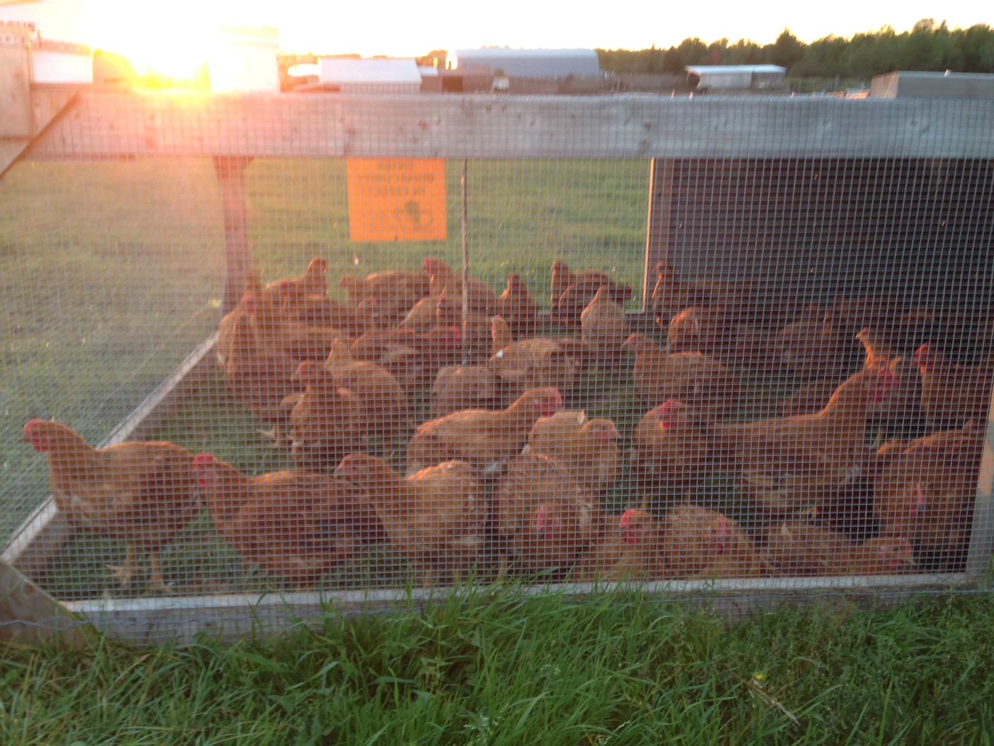 These are nova brown chickens in the portable shelters