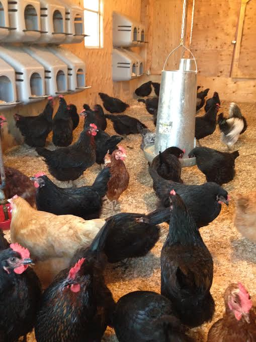 Hens in the barn for the winter