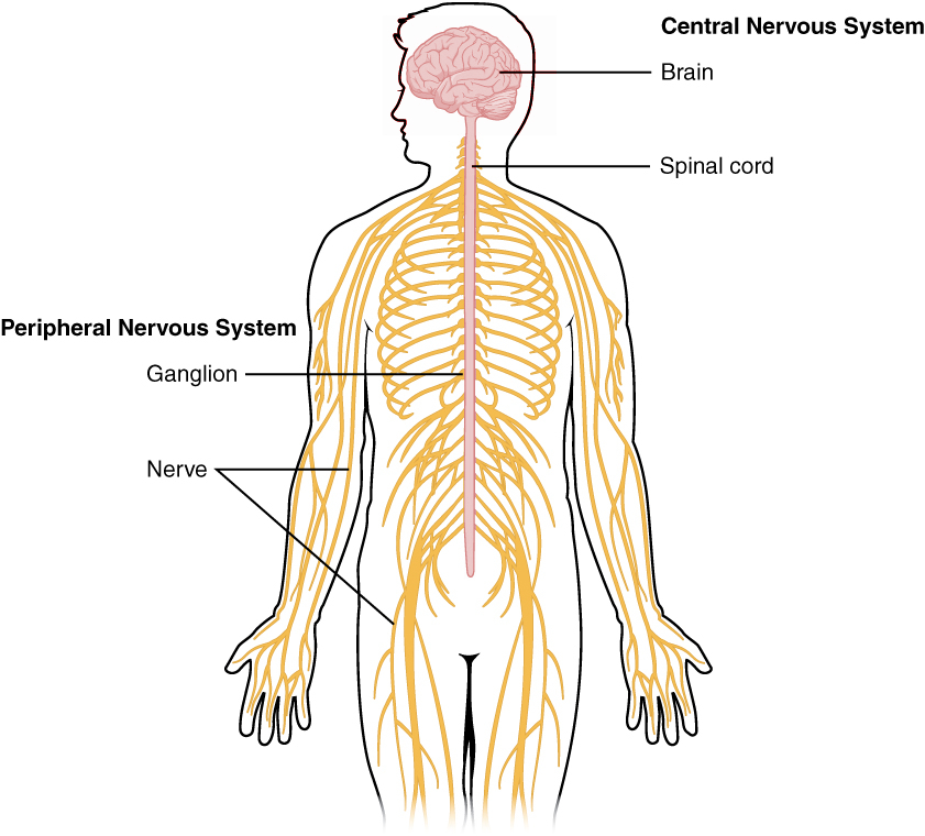 This is your nervous system, consisting of the central nervous system (brain and spinal cord) and the peripheral nervous system (nerves).