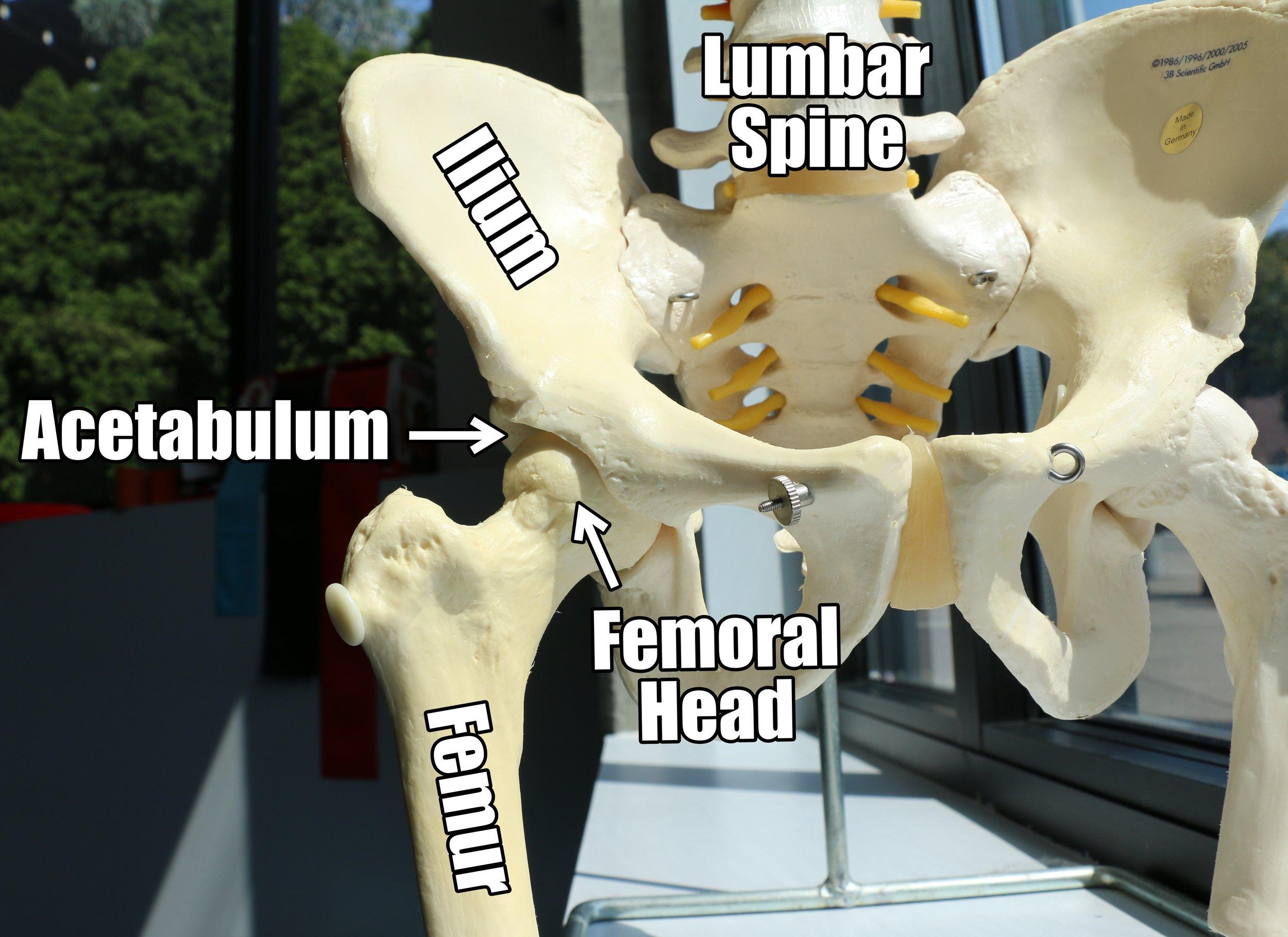 Hip Anatomy.jpg