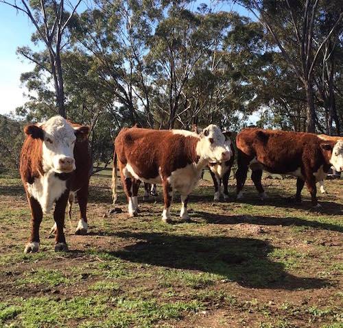 Coolah cows