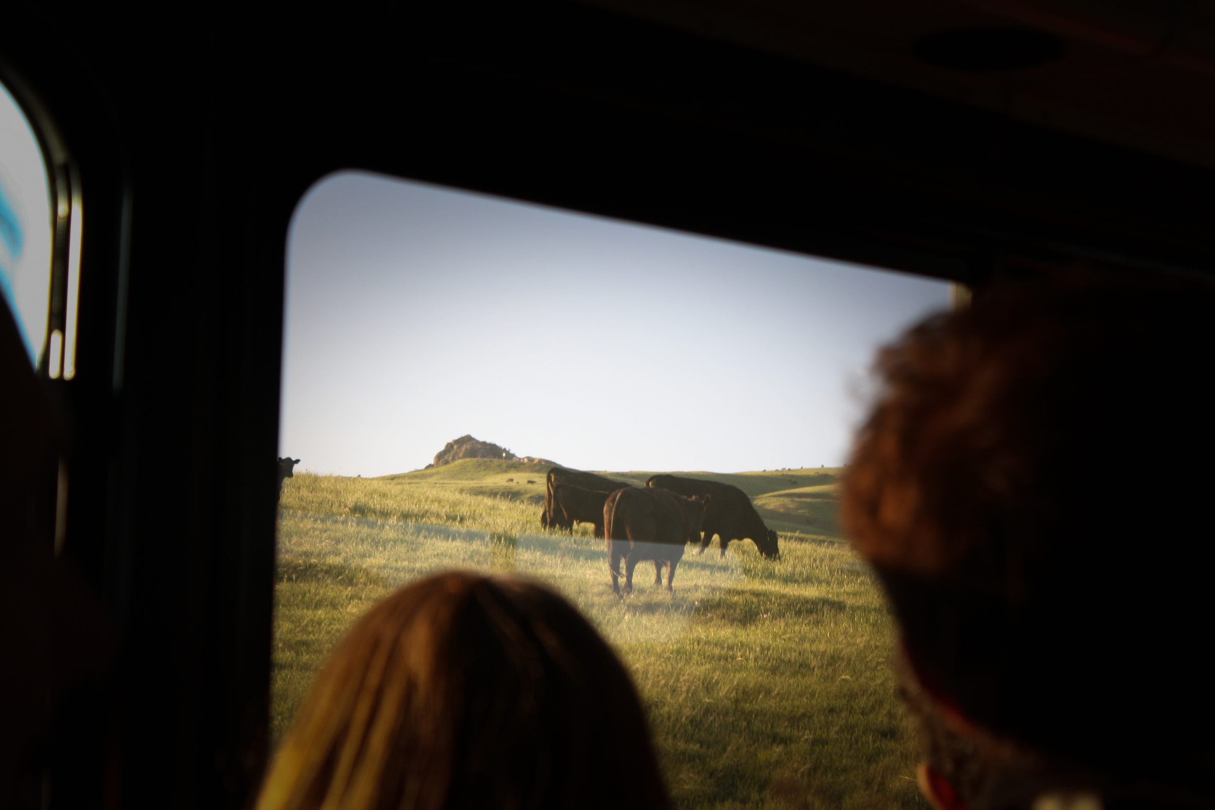 On more than one occasion, the bus had to come to a stop and honk at the Hearst Ranch cows parading across the hillside.