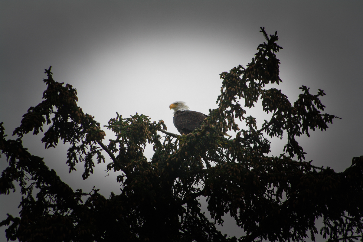 Our first Bald Eagle was glorious, majestic, and looked just as 'Murrican as you could ever want. One of the most impressive birds I have ever seen.