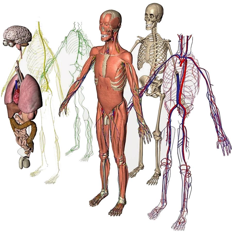 fysiologiske systemer.jpg