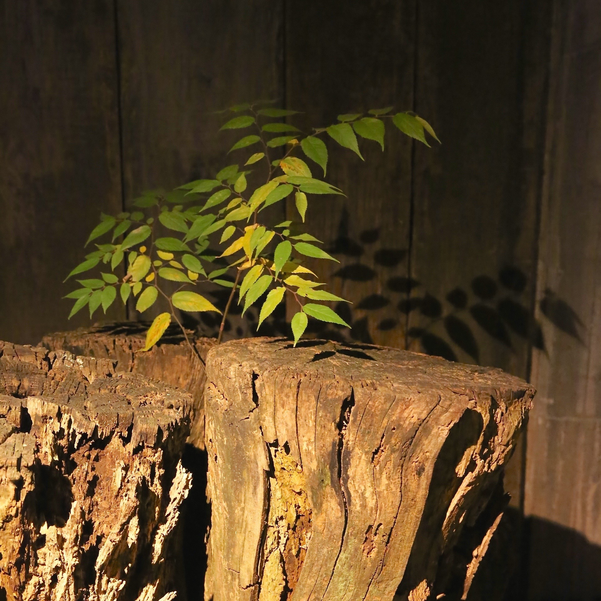 The keyaki sapling growing from the stump of its mother; a remarkable sight. ©TOKI