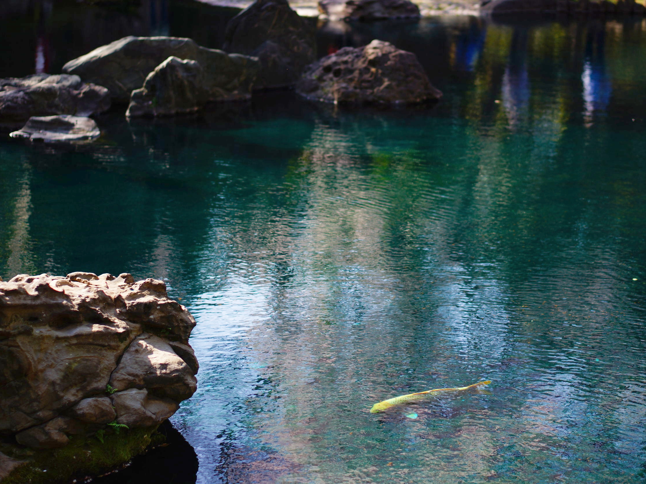A gold colored koi clearly visible in a pond at a temple in Tokyo. ©TOKI