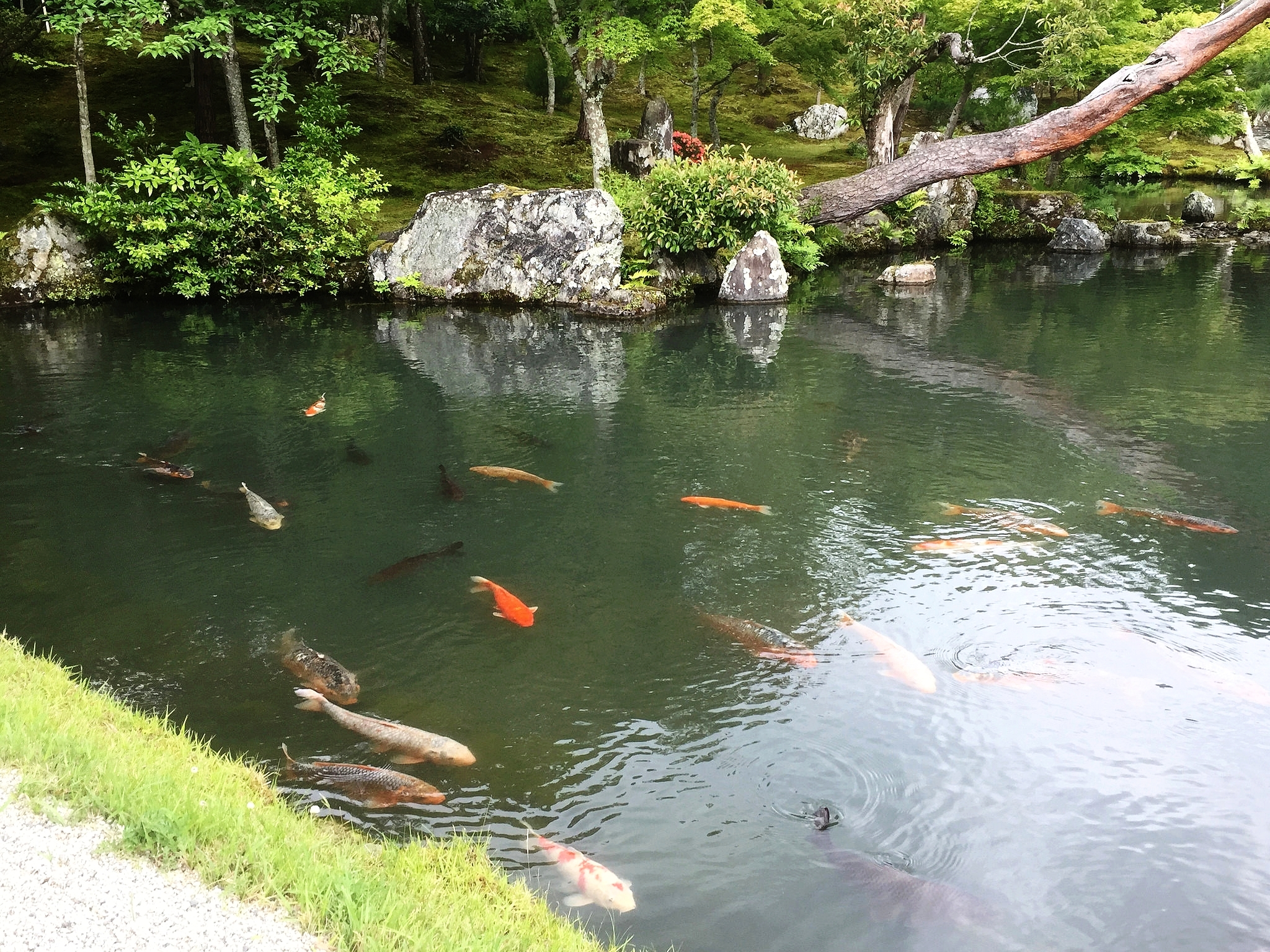 In this pond, many different breeds of koi coexist. ©TOKI