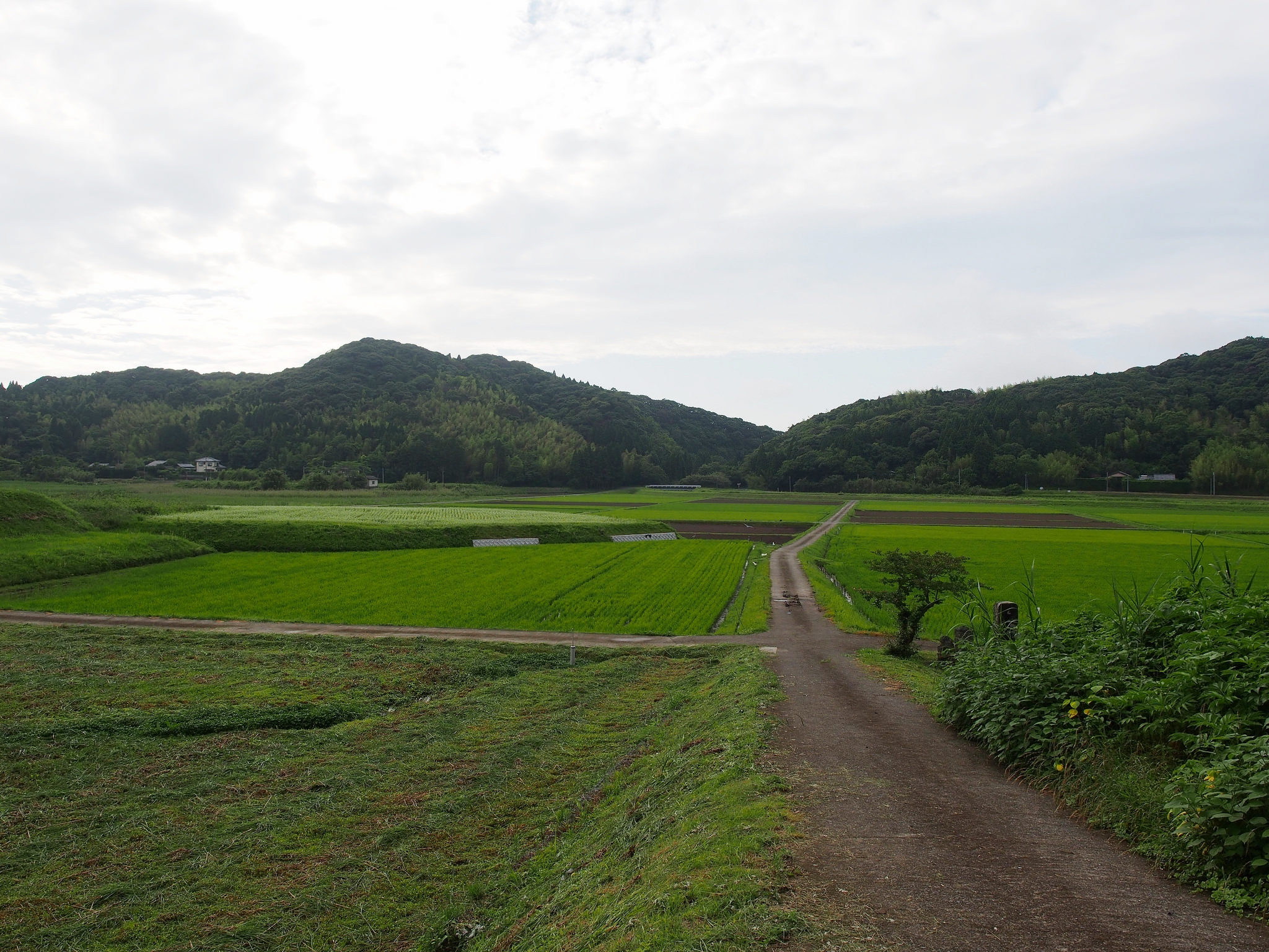 The sake brewing process starts with the cultivation of  sakamai , sake rice. ©TOKI