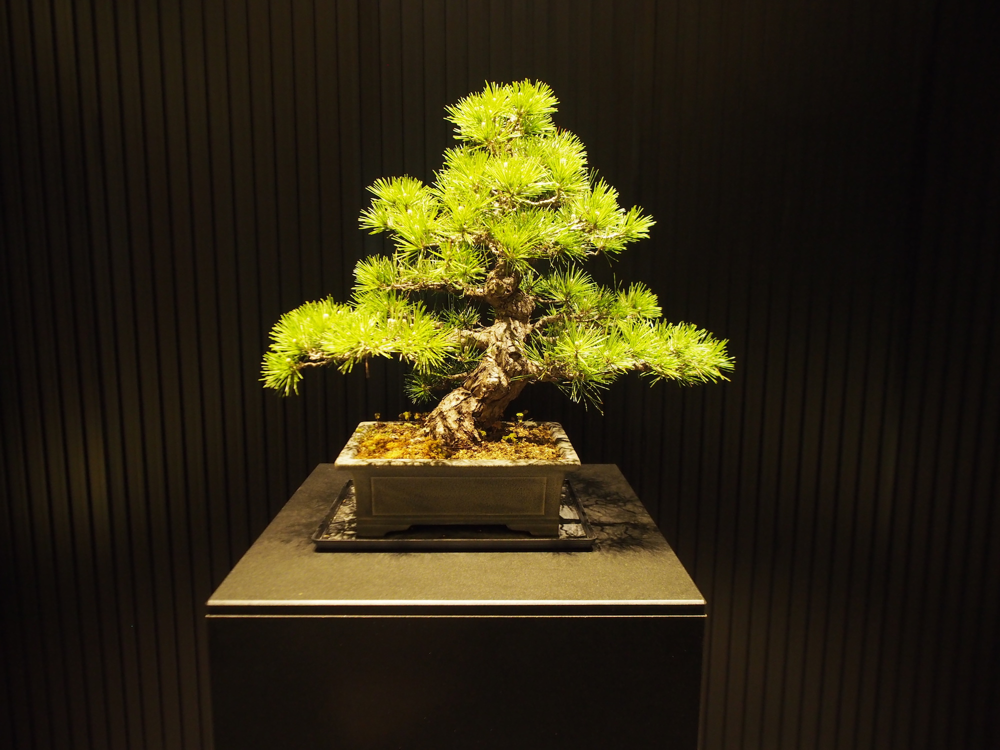 Note how the bonsai plant mimics the proportions of a full size tree. ©TOKI