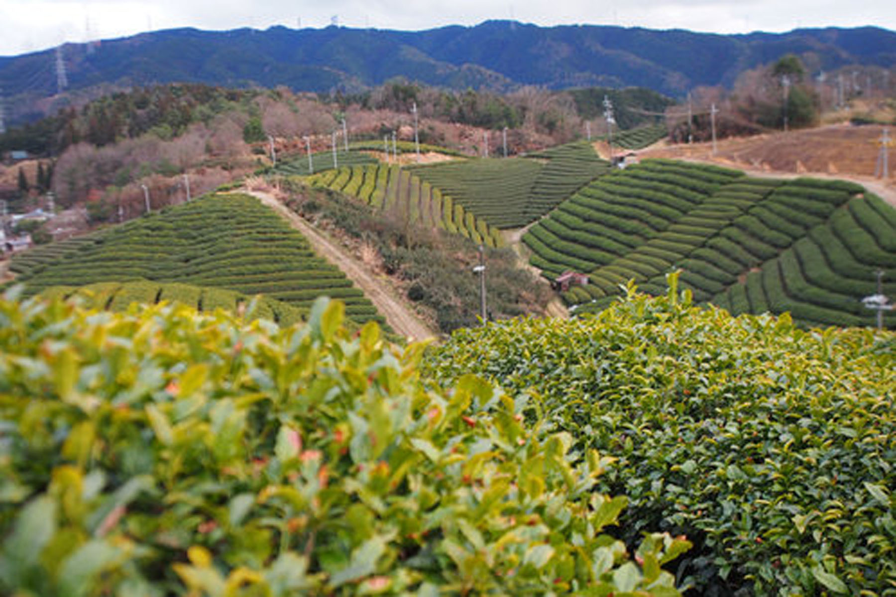 Tea fields are usually made on hillsides. © TOKI
