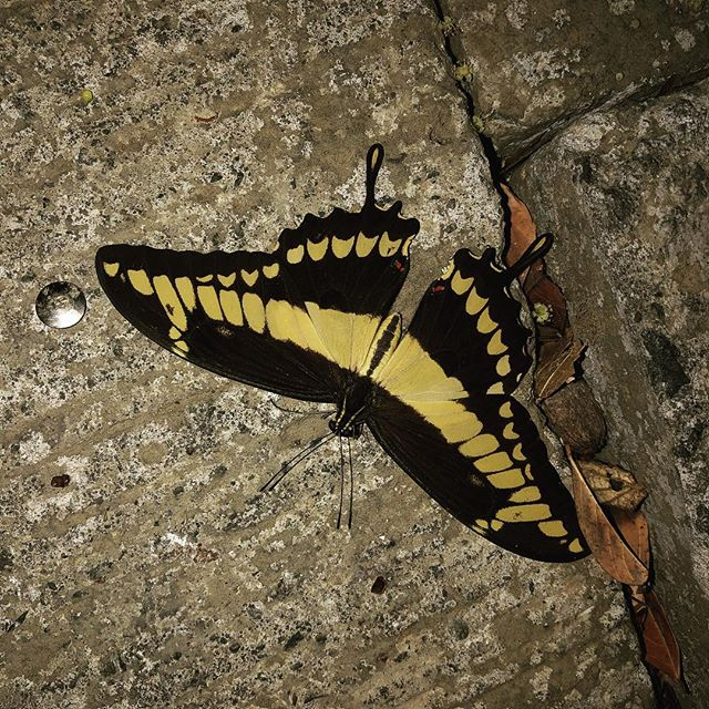 The butterflies here are just stunning. Yellow and black acts as a warning to other animals that you are not good to eat. #survivalofthefitest #rainforest #costarica