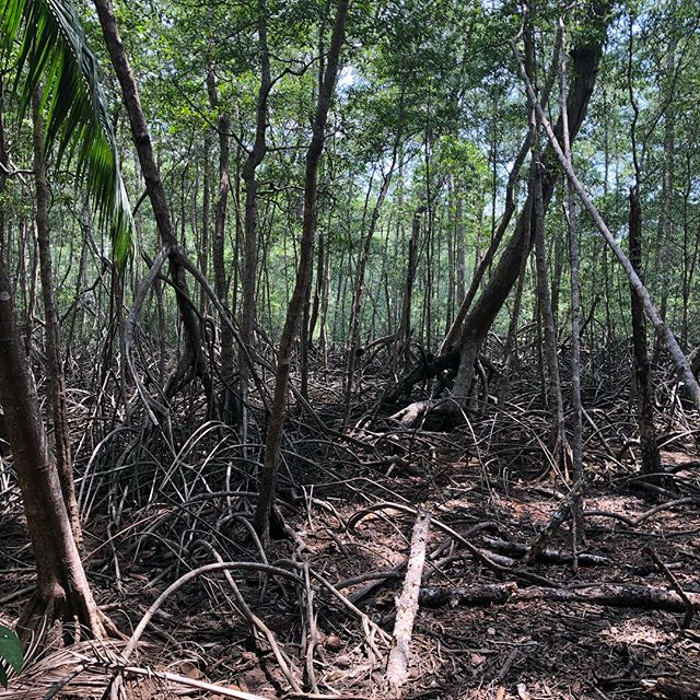 Mangroves in the dry forest's of nicoya where the ocean and land collide. Mangroves provide essential nutrients to the sea that quite literally helps feed the tiny little organisms that create life in the sea. I am pleased to say it is illegal in Costa Rica to cut a mangrove down. #costarica #conservation #alwayslearning