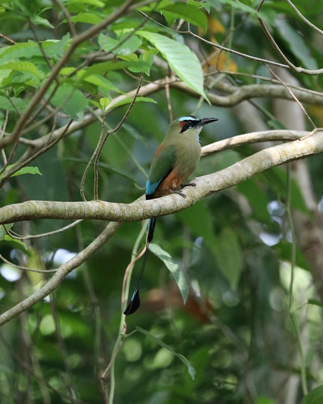 This stunning bird we found in the dry forest in the Nicoya Peninsula an is a turquoise browned Mot Mot #costarica #wildlife #motmot