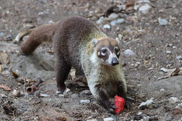 An enchanting face. #coati