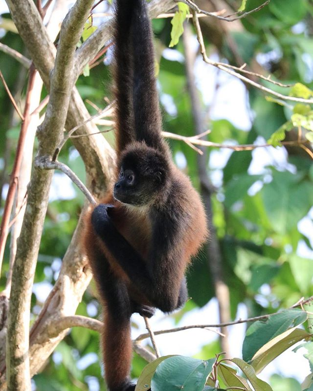 Spider monkeys tails are amazing and act like a fifth limb.