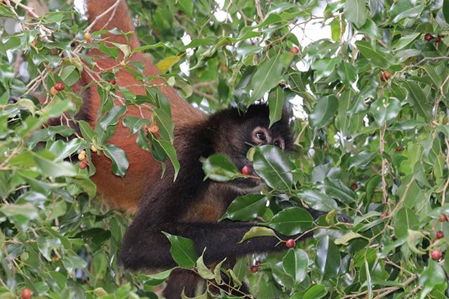 Every morning these spider monkeys would come crashing across our deck to get to this tree for breakfast. I am not sure what the tree is but the fruit looks decidedly like cherries.