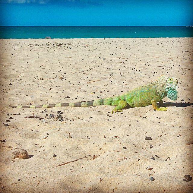 We had a visitor... #playa #iguana #oceanpark  #sanjuan #puertorico