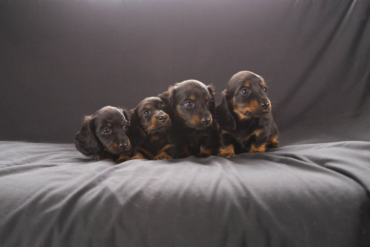 puppy photographer auckland
