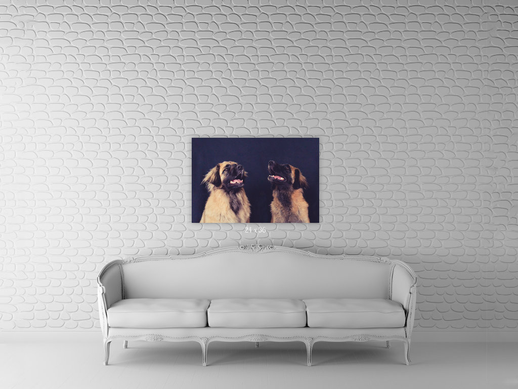 dog photographer auckland, dog photography auckland, auckland photographer, gift idea for dog lover, pet photoshoot, dog wall art, dog photo on wall, yellow lab pet photo, leonberger